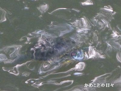 P1050623-akamimi.jpg