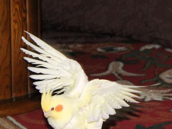 天使の羽だっぴよ