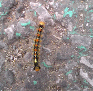 毛虫さん、足がいっぱいあるのにノロノロ歩き