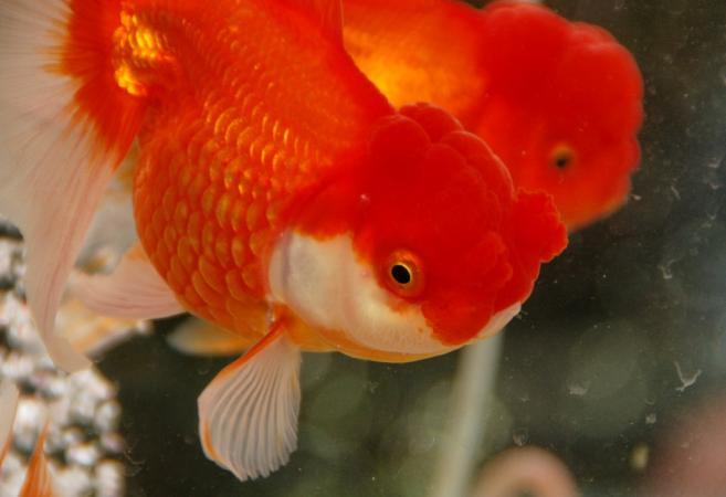 DSC03006金魚まつり2