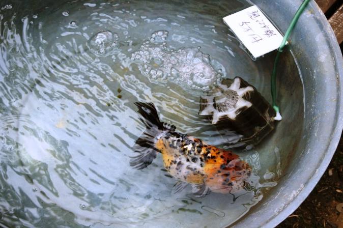 DSC02875金魚まつり2
