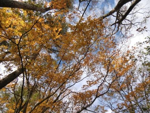 黄葉を眺めながら