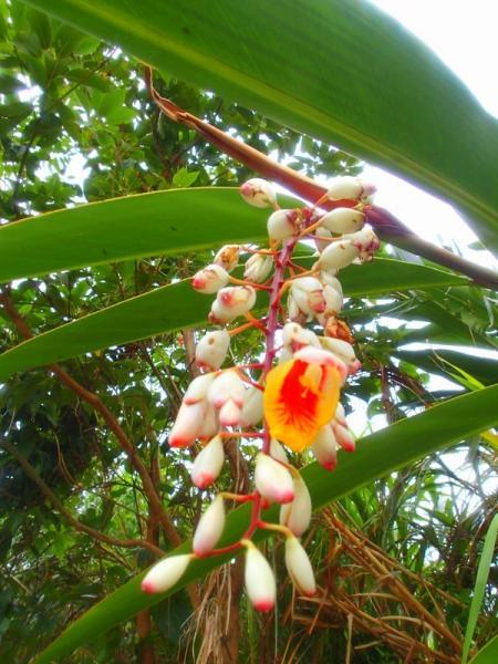 西表島の植物