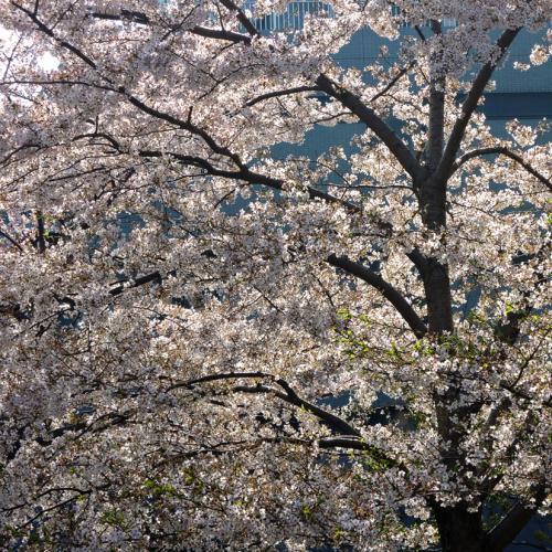 朝桜_convert_20130407201456