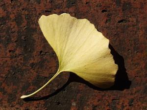イチョウの葉1_convert_20131211205219