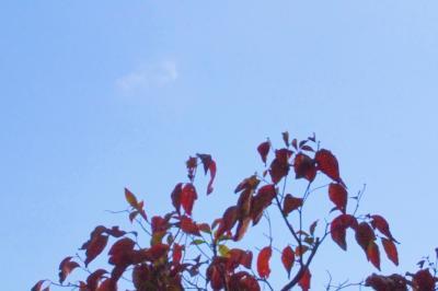 葉っぱが赤く染まりました。