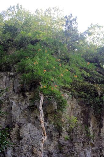 岩根寺のノウゼンカズラ
