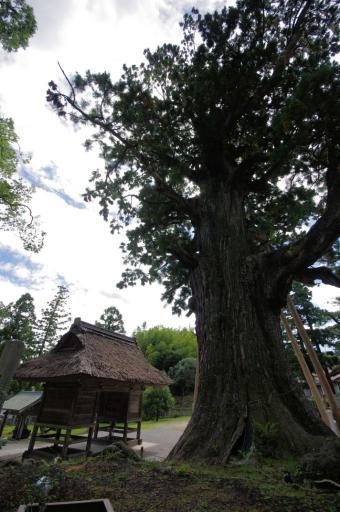 玉若酢命神社の八百杉です