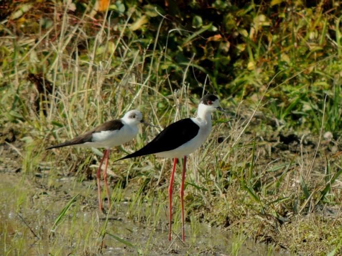 セイタカシギ2羽