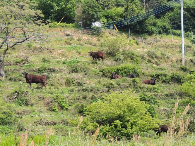ミッキー牧場の牛さん