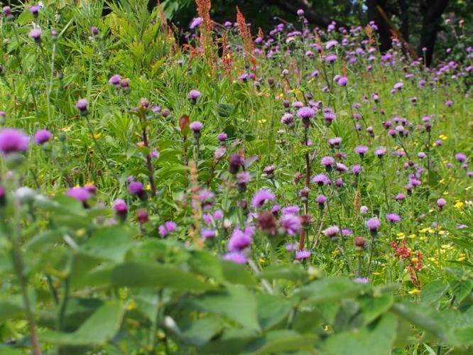 野の花 あざみ