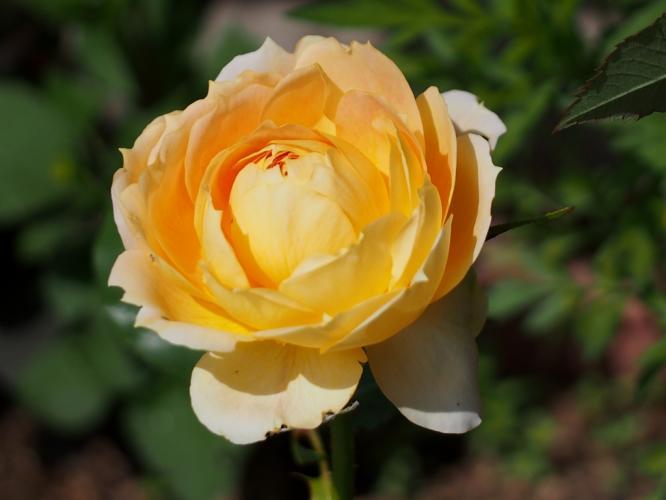 バラも咲いて