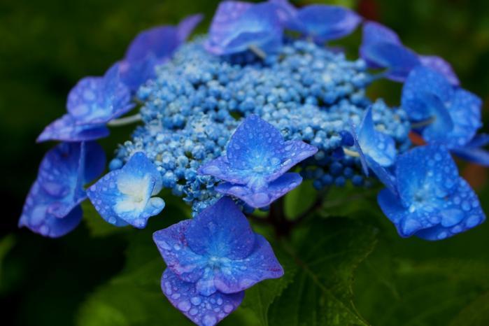 がく紫陽花 ブルー
