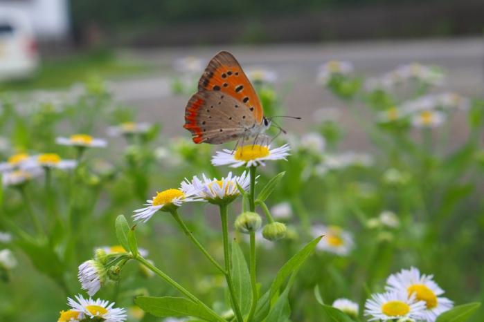 ベニシジミ蝶 ヒメジオンに