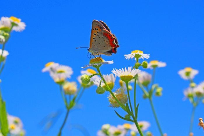 青空の下に ベニシジミ蝶