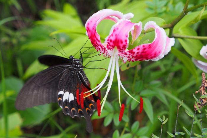 かのこゆりにアゲハ蝶