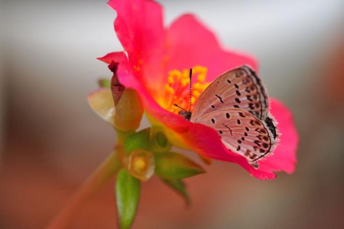 シジミ蝶のかくれんぼ