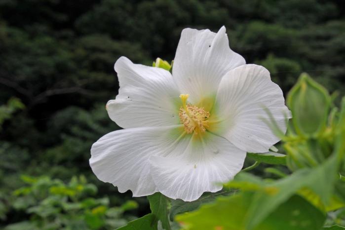 芙蓉の花 白