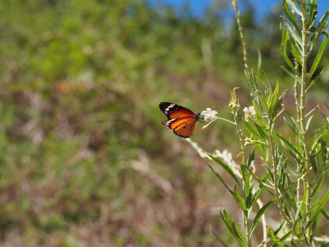 風船とうわたの花に 蝶