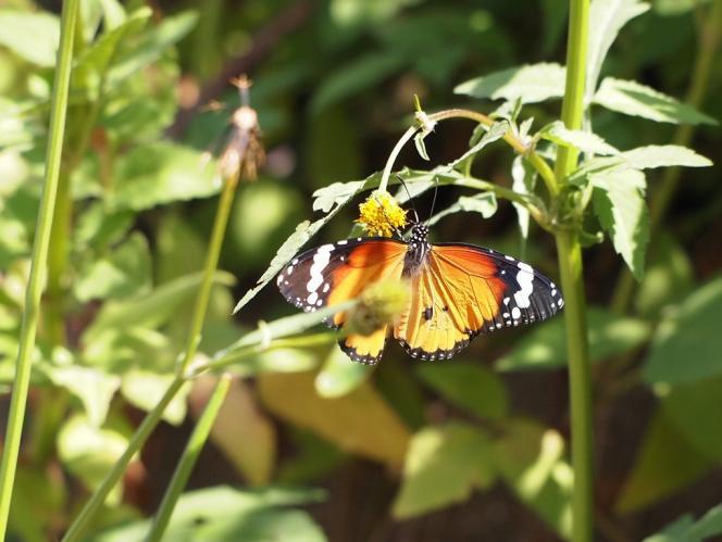 蝶 カバマダラ