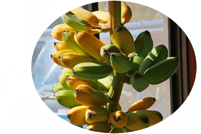 バナナ 色付いて