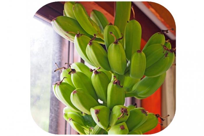 バナナ 収穫