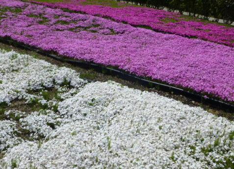ミササガ 芝桜