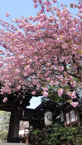 豊川稲荷の桜!