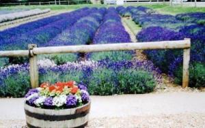 手前花のラベンダー畑