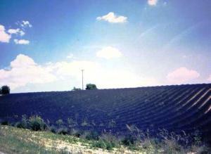 フランスラベンダーの丘
