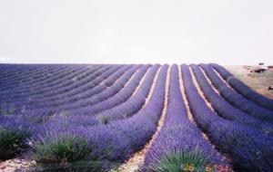 南仏ラベンダー畑