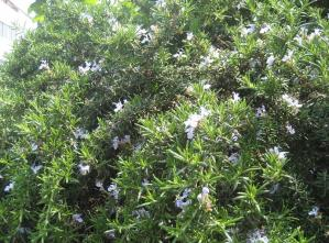 ローズマリーの薄色花