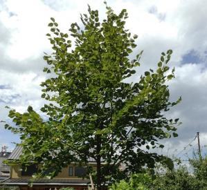 リンデンの木