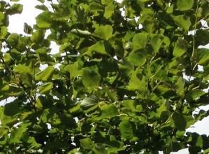 リンデンの葉