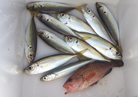 鹿児島海釣り公園釣果