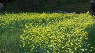 2013年5月菜の花
