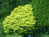 7色樫の木