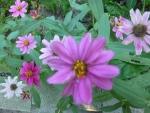 百日草 こぼれ種から秋を彩る