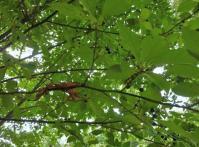 クロモジの木が多いい