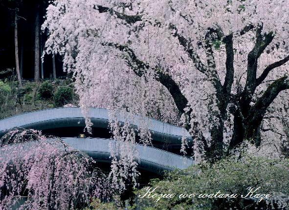 13桜46