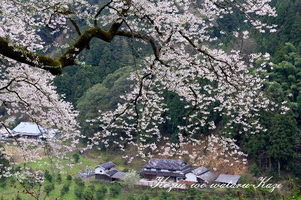 13桜53