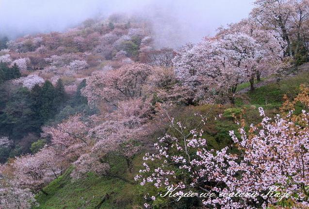 13桜38