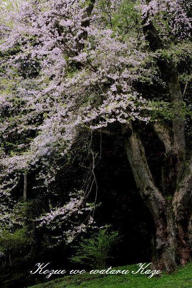 13桜37
