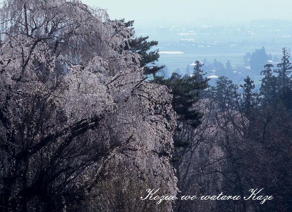 13桜42