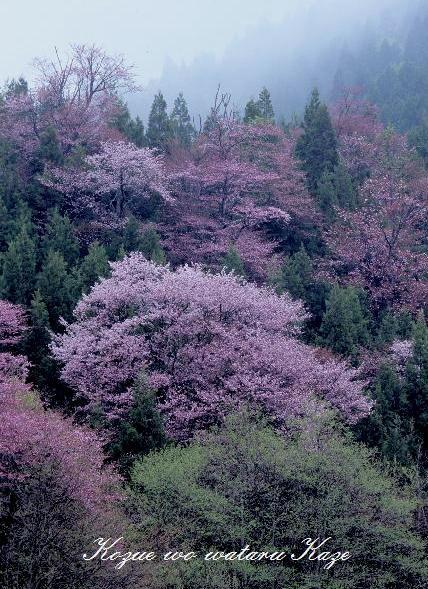 13桜35