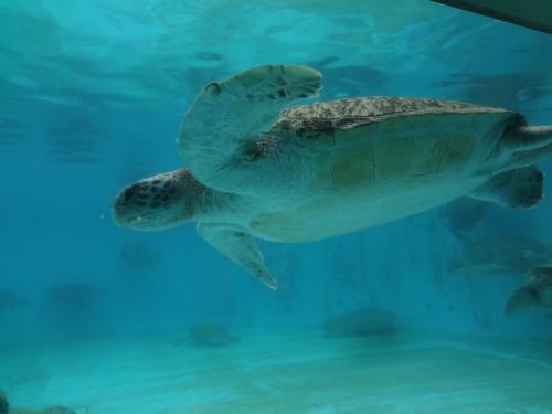 ウミガメ館では、タイマイ、アカウミガメ、アオウミガメ