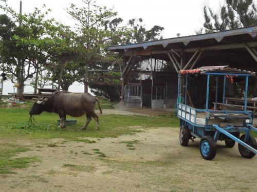 備瀬の入口で草を食む水牛。名前はフクちゃん