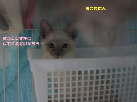 014セリごま20130517