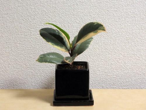 ゴムの木16