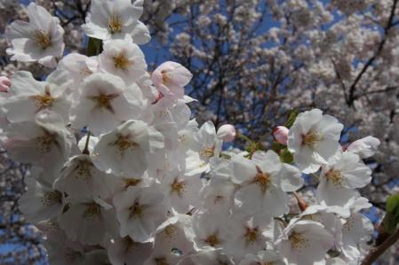 4.25桜